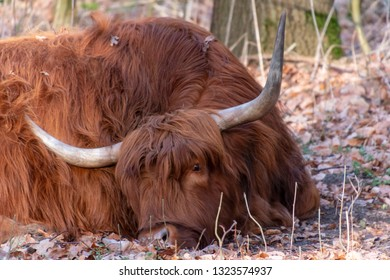 Tired Scottish Highlander in the Amsterdamse Bos. Lying with his head on the ground.