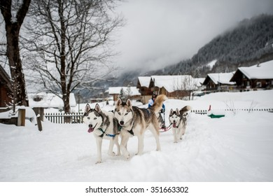 Tired sledding dogs