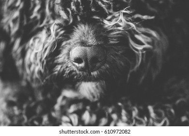 Tired spanish water dog lying on the sofa. Indoor portrait