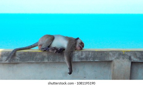 Tired and weak monkey sleeping with blue sea background. Animal, wildlife, nature concept