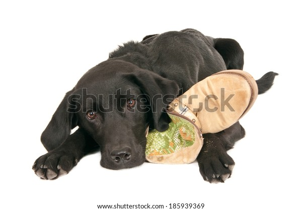 A tired young black labrador retriever playing with a shoe, isolated on white