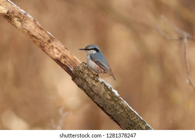 Tireless hunter of the forest insects, eurasian nuthatch (wood nuthatch), sits on a dry branch in a forest park on the first day of winter.