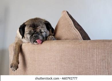 薄いグレイの背景にベージュのソファで寝ているタイヤのパグ犬。