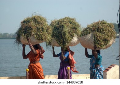 TIRUNELVELI, TAMIL NADU, INDIA, circa 2009: Unidentified women carry loads of grass circa 2009 in Tirunelvelli, Tamil Nadu, India. Much of India's economy still relies on traditional labour.