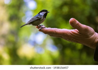 Tit eats food from the hand of an elderly person in a green forest in the sunny spring day. Bird lovers, birdwatching. A beauty of the environment nature. Ornithology, International bird day concept.