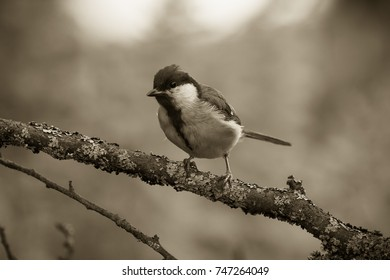 Tit (Parus major) on the branch of tree in a forest. Blurred natural background. Selective focus. Toned.