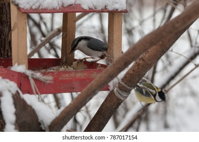 Tit pecking bread crumbs from the bird feeder in winter Park
