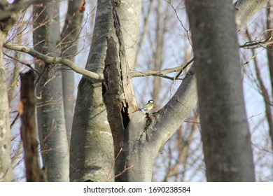 A tit resting on a branch of a beech tree