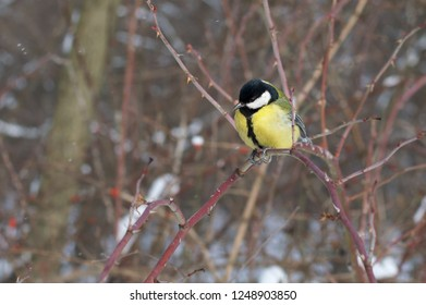 Tit sitting on a tree branch in winter, a beautiful bird in the park
