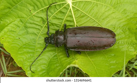 Titan beetle (Titanus giganteus) Cerambycidae family. Location: Presidente Figueiredo, Amazon - Brazil