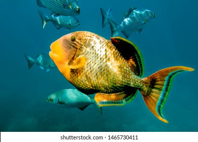 Titan Triggerfish (balistoides viridescens, giant  or moustache triggerfish) underwater. Shot during diving, snorkeling and spearfishing on Similan and Surin islands in the Andaman Sea, Thailand