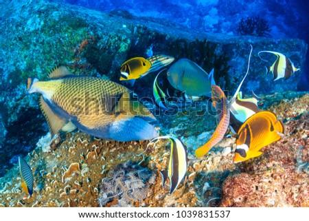 A Titan Triggerfish feeding
