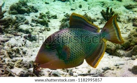 Titan Triggerfish in the