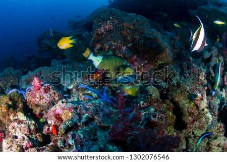 Titan Triggerfish on a