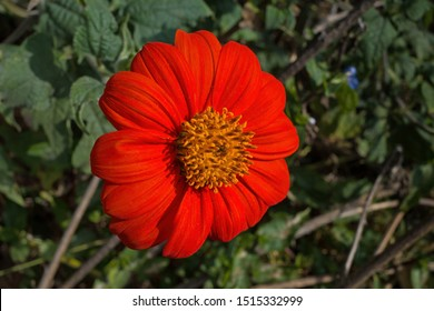 Tithonia in the garden on a sunny day. It is a genus of flowering plant in the sunflower tribe within the Asteraceae family. It attracts a large range of butterflies and bees and is a good pollinator.