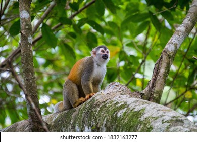 Titi Monkey sitting in the trees