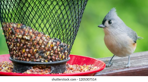 Titmouse bird from Kentucky on shoe and feeder nature urban wildlife  photography