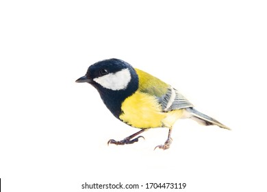 Titmouse bird on a white background, great tit, Parus major, oxeye close up, spring. Symbol of the positivity and joy