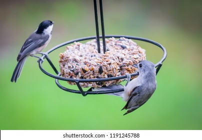Titmouse and chickadee birds on feeder swing Nature photography