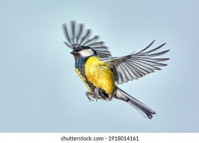 Titmouse in flight close up.