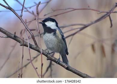 Titmouse (Parus major), on a branch