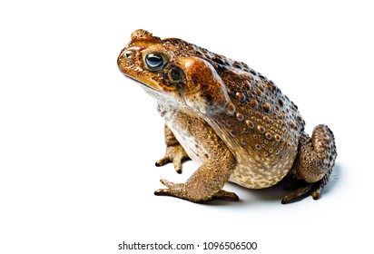 Toad aga. Giant neotropical toad. Rhinella marina. Toad aga on white background, amphibians closeup isolated.