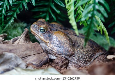 Toad Aha (cane toad). These are the most famous toads of Central and South America. Toads Aga quite large, can weigh about 1 kg, and in length reach 25 centimeters.