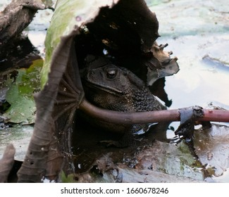 The toad concealed himself in the swamp.