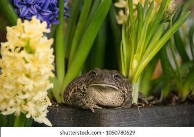 Toad frog with jewel-like golden eyes burrows in among spring blooming hyacinth and daffodil flowers