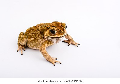 Toad full body of white background