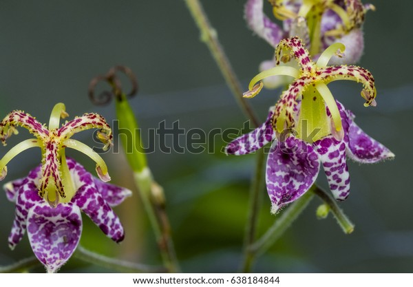 Toad Lily Shade Loving Plant Colourful Stock Photo Edit Now