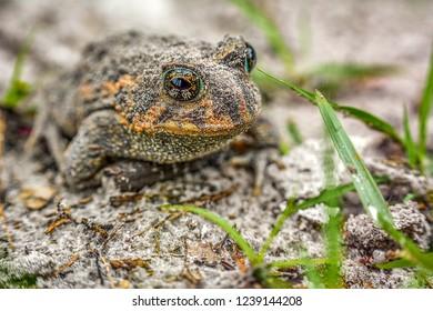 toad, macro, natual