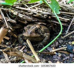 Fowler's toad in North Carolina tuck in its homed shelter of straw and garden soil.