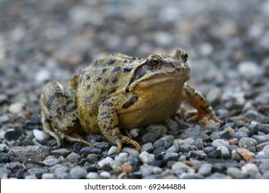 Toad on gravel