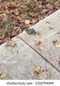 A toad on the sidewalk in the fall of 2019 in Cary, North Carolina