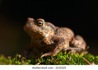 Toad, sitting on a green moss. The little frog is about 2 cm.