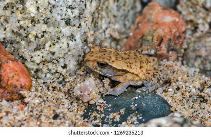 Toad (species undetermined) that mimics the colors and patterns of rocks and sand in its habitat along the shoreline of the Inchillaqui River in the upland rainforests near Archidona, Ecuador.