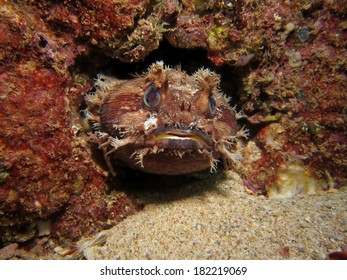 Toadfish taking a peak from home