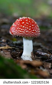 Toadstool mushroom marks Atumn's beginning