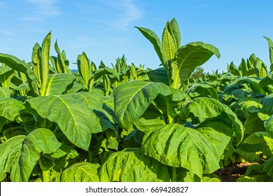 Tobacco big leaf crops growing in tobacco plantation field.