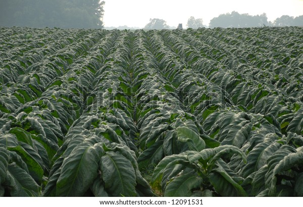 Tobacco crop in the southern United States