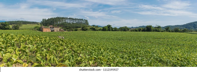Tobacco cultivation in southern Brazil