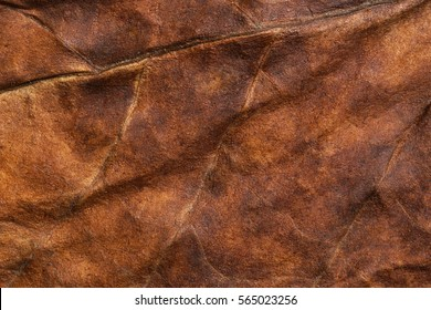 Tobacco. Dried tobacco leave with fine visible structure details. Abstract textured background. Close up with very high-res for backgrounds Solonaceae, Nicotiana tabacum