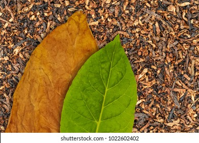 Tobacco dry leaf and tobacco green leaf on Tobacco dry background