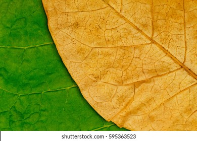 Tobacco dry leaf  on green tobacco  background
