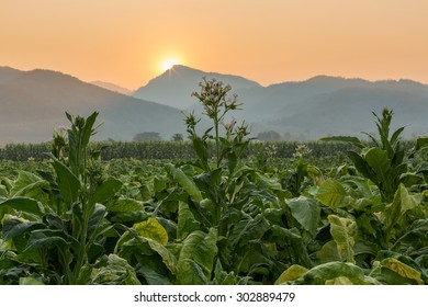 Tobacco farm in countryside with mountain range and sunrise in the background