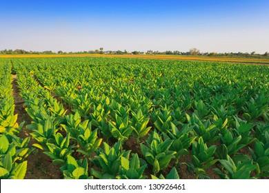 Tobacco farm, Tobacco field