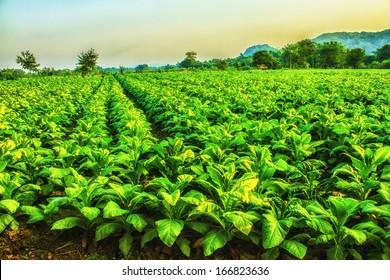 Tobacco farm in morning. HDR