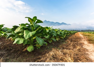 Tobacco farm in morning with road.