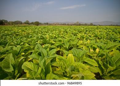 Tobacco farm in thailand